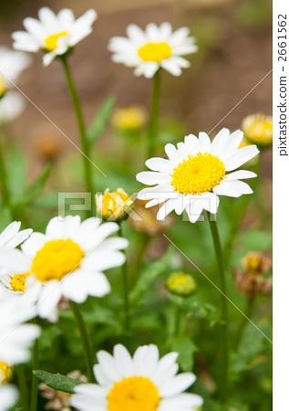 小白菊花 2661562