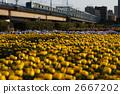 chrysanthemum 2667202