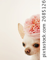 Rose flowers and Chihuahuas 2685126