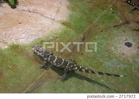 chinese alligator, alligator, crocodile 2717972