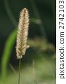 green, foxtail, setaria 2742103