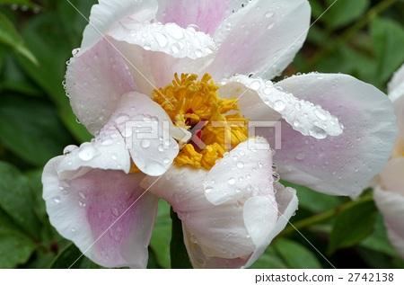모란, 꽃, 플라워 2742138