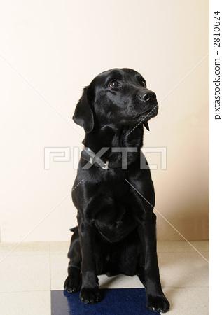 labrador, dog, dogs 2810624