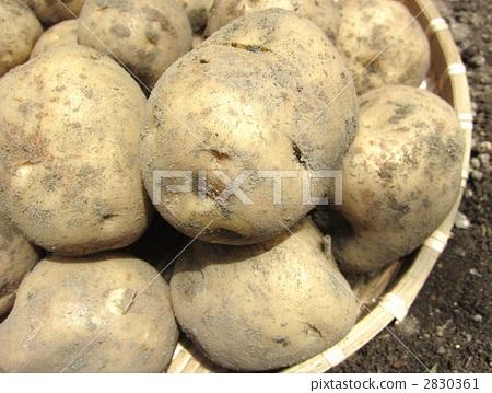 Potato 2830361