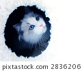 rag doll, cat, animal 2836206