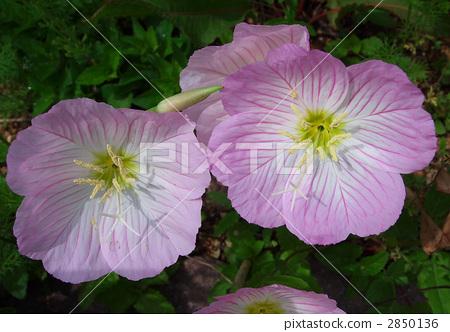 紅花月見草 可愛的花兒 粉色鮮花 2850136