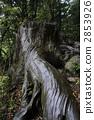 야쿠 삼나무의 왜곡 뿌리 2853926