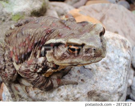bufo torrenticola, frog, frogs 2872817