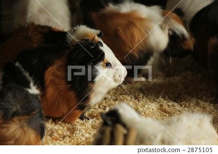 Guinea pig / profile 2875105