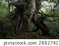 시라 타니 운수 계곡의 야쿠 삼나무 2882742