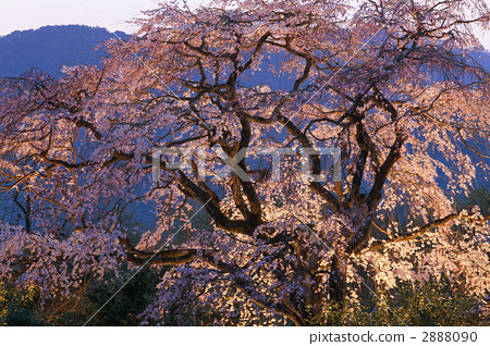 weeping cherry, weeping cherry tree, cherry blossom 2888090