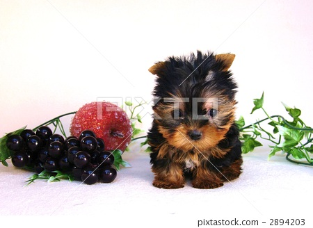 dog, dogs, yorkshire terrier 2894203
