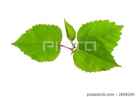 Hibiscus leaves 2898290