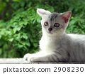 kitten, american shorthair, cat 2908230