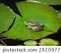 在荷花的葉子的Tonosa青蛙 2920977