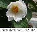 100歲的佐倉樹花在Kanonji寺廟的 2921021