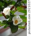 100歲的佐倉樹花在Kanonji寺廟的 2921027