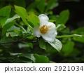 100歲的佐倉樹花在Kanonji寺廟的 2921034