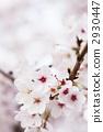 樱花盛开 2930447