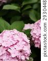 粉红色的绣球花 2930448
