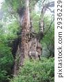 Jomon cedar of Yakushima 2936229