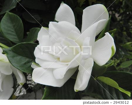치자나무, 꽃, 플라워 2943012
