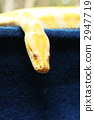 缅甸蟒蛇 2947719