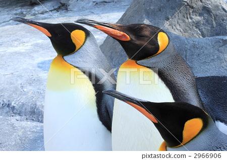 King penguin 2966906