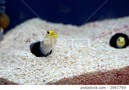 Saltwater fish yellow head joe fish kaiyukan stock for Salt fish head