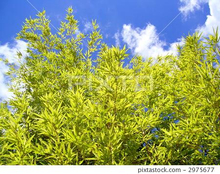 푸른 하늘과 대나무 2975677