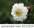 ไม้จันทน์สีขาว (Jinia) 3012825