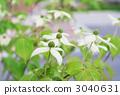 開花在庭院裡的山法律花 3040631