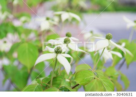 정원에 피는 山法師 꽃 3040631