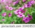 紫色Oxalis 3040853