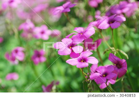 Purple Oxalis 3040853