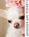 Rose flowers and Chihuahuas 3060871