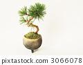 松树盆景 3066078