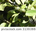 從現在開始變黃的熱帶水果himeguaba的年輕果子 3136386