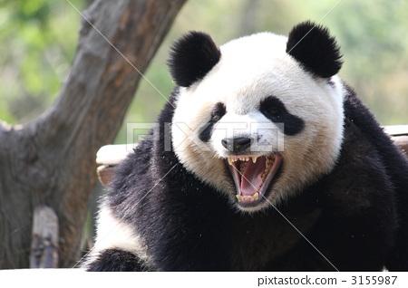 咆哮熊猫 3155987