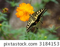 papilio, swallowtail, butterfly 3184153