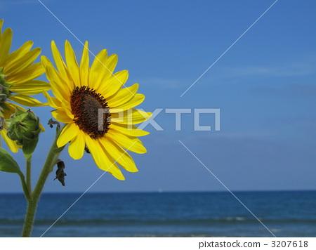 동해, 해바라기, 꽃잎 3207618