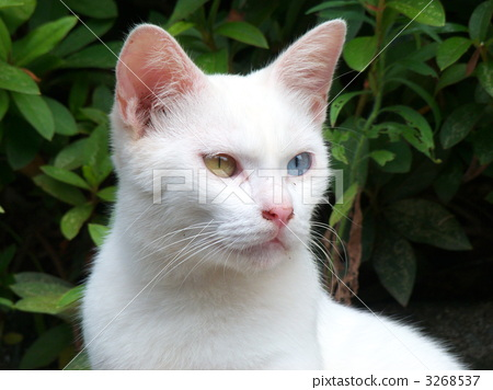 Oddai's white cat 3268537