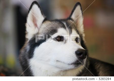 Siberian Husky 3283284