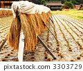 harvest, paddy, rice plant 3303729