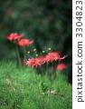 cluster amaryllis 3304823