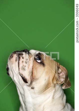 English bulldog portrait. 3306049
