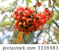 pyrocanthus果子在秋天上色了红色 3336983