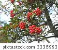 pyrocanthus果子在秋天上色了红色 3336993