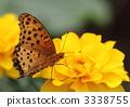 indian, fritillary, butterfly 3338755