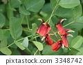 erythrina, crista-galli, red 3348742